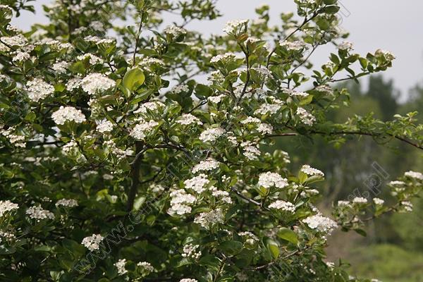 encyklopedia drzewaronia prunifolia 39 viking 39 aronia. Black Bedroom Furniture Sets. Home Design Ideas
